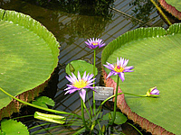 Tropical water lily growing at the botanical garden. Picture: City of Oldenburg